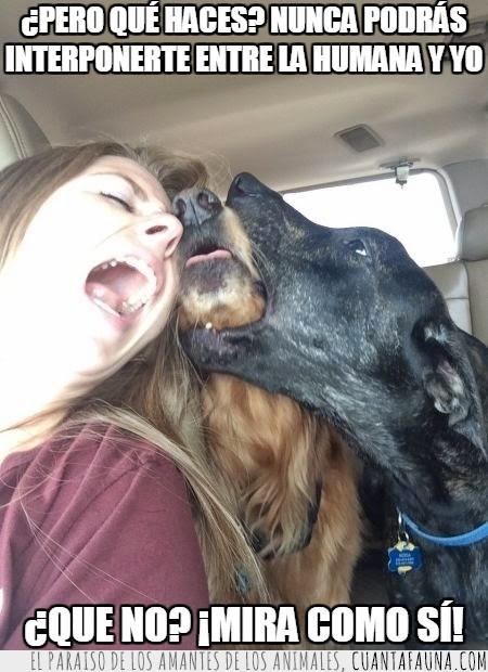 amor,besos,coche,humana,interponerse,morder,perro,perros,ponerse en medio