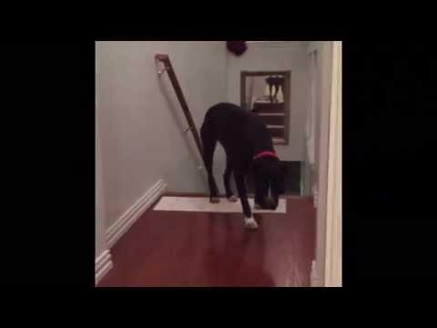 21816 - Queso, el pitbull con miedo a cruzar puertas que encontró una curiosa manera de superarlo