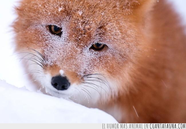 artico,familia,frío,naturaleza,nieve,pasión,salvaje,zorros