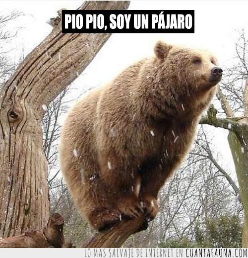 arbol,oso pardo,pio pio,subido,trepar