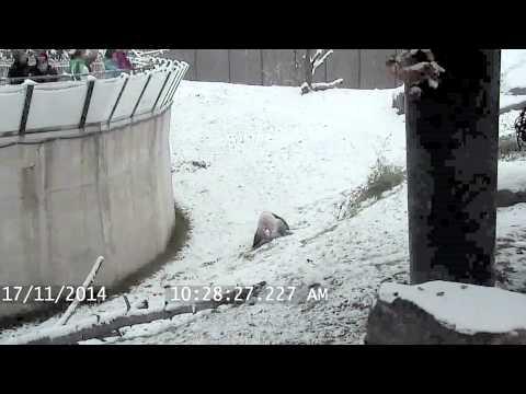 21951 - ¡Este panda se lo pasa pipa jugando en la nieve!