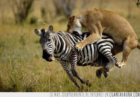 Cuánta Fauna Espeluznantes Imágenes De Animales Cazando A Sus Presas