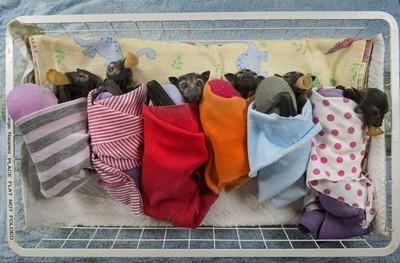 22017 - Hospital en Australia para bebés murciélago abandonados. ¿Sólo los gatitos y perritos son monos?