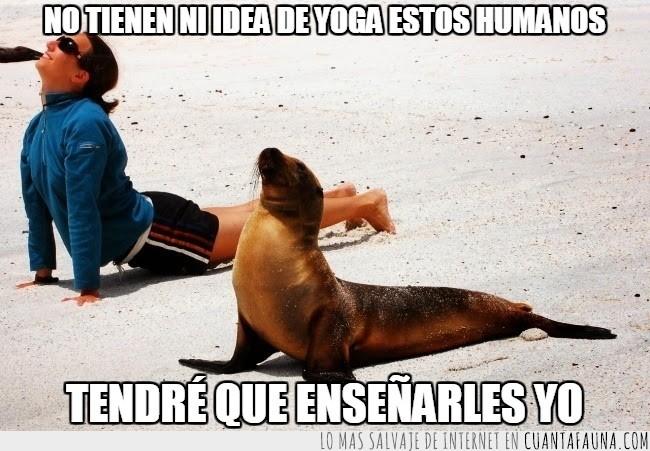 animales,descanso,foca,postura,yoga,yogui