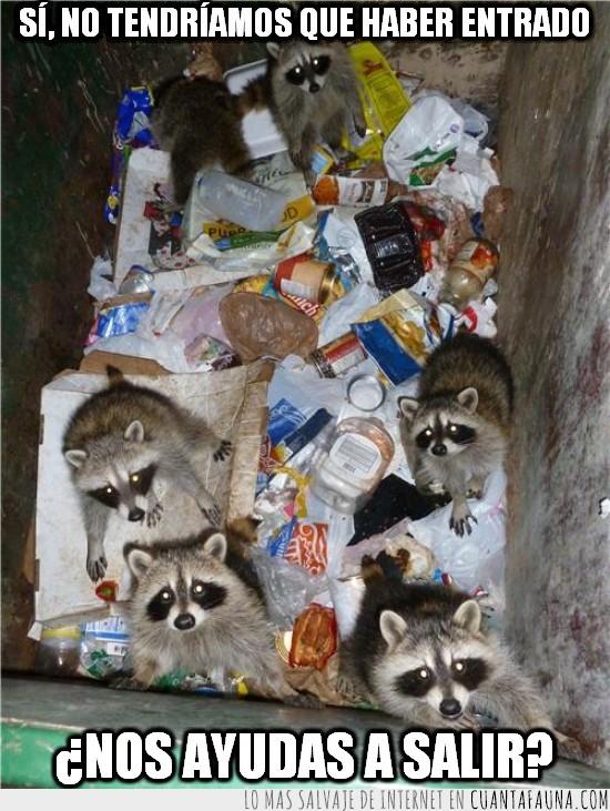 atrapados,basura,buscar comida,contenedor,mapache,mapaches