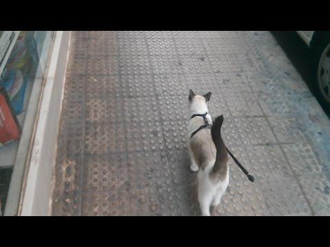 22473 - Gatos que disfrutan del paseo con correa más que cualquier perro