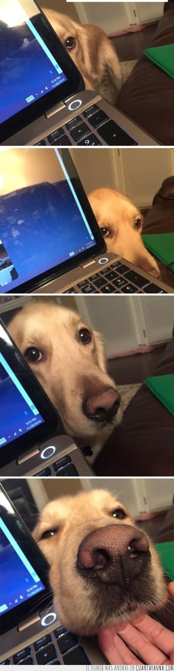 cariño,labrador,mascota,ordenador,perrito,perro,portatil,tocar