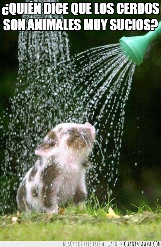 agua,cara de gustico,cerdito,cerdo,ducha,regadera