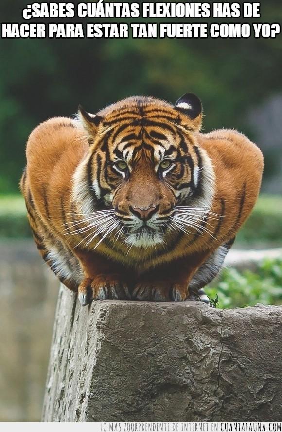 bengala,bigotes,félido,felino,flexiones,fuerte,gato,tigre