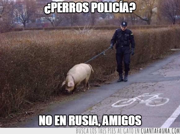 carril,cerdo,en realidad tienen mejor olfato que los perros,oler,pasear,policia,Rusia,sacar