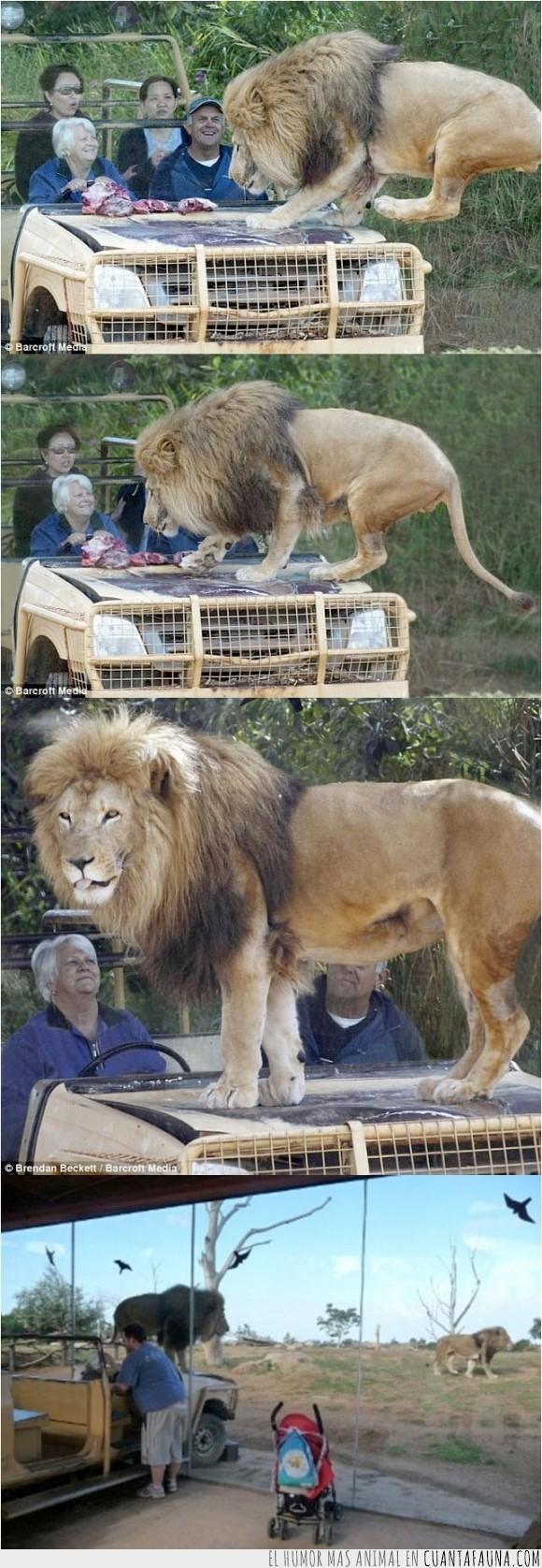 leon,Melbourne,realismo,Werribee zoo,zafarí,zoologico