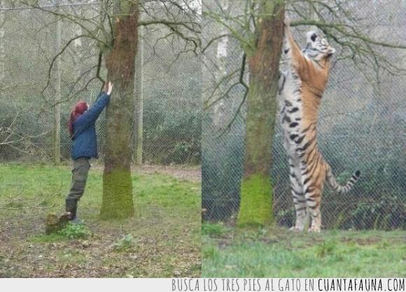 comparación,félido,frío,nieve,Rusia,siberiano,tamaño,tigre,tigre de Amur