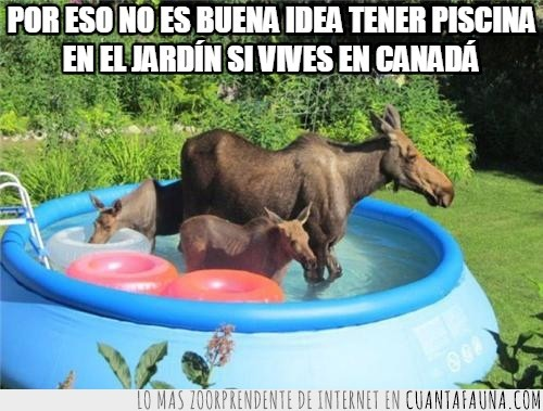 agua,alces,animales salvajes,baño,jardín,piscina