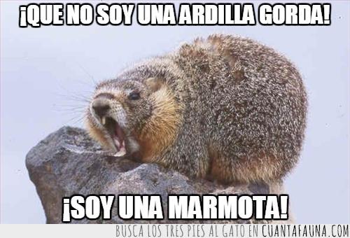 ardilla gorda,enfadada,gritar,marmota,woodchuck