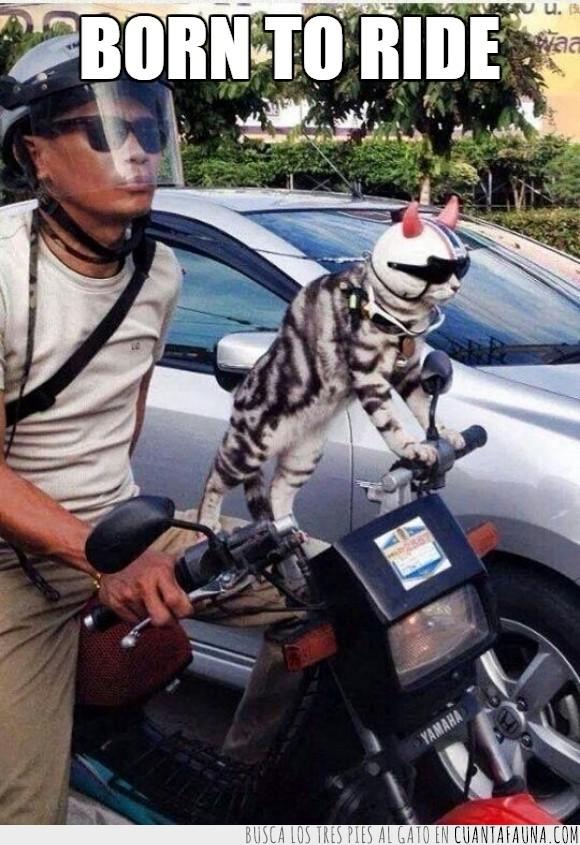 born to be wild,casco,felino,gato,moto,motocicleta,nacidos para ser salvajes,rebeldes