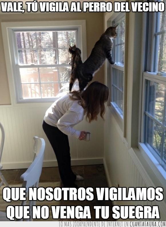 gatos,mirar,perro,suegra,ventana,vigilantes,vigilar
