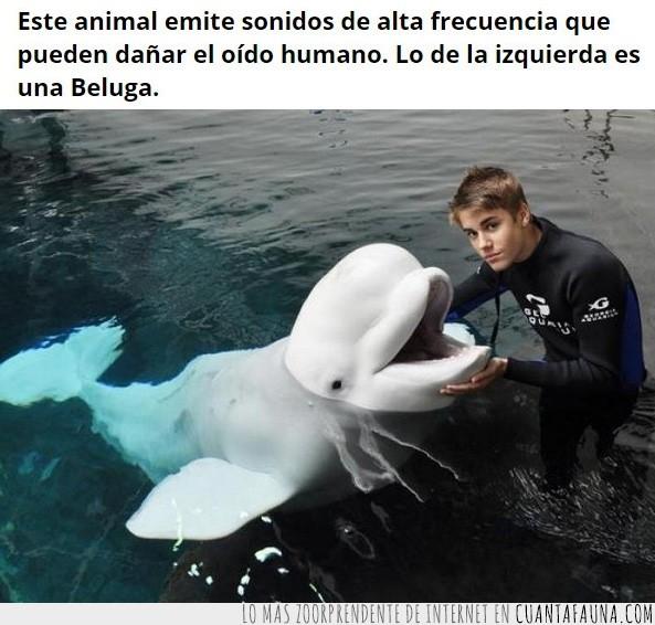 beluga,cantar,dañar,delfin,destrozar,grita,izquierda,justin bieber,oido humano