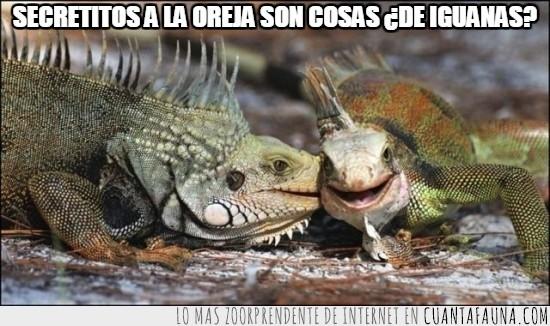 a la oreja,decir,igual le está mordiendo,iguanas,secretos