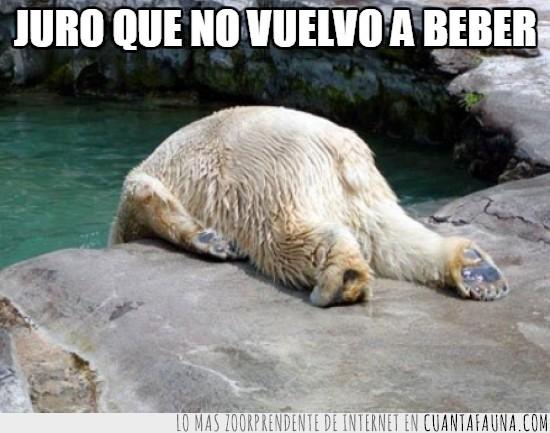 beber,colgando,jurar,oso polar,resaca