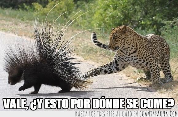 defensa,espinas,felino,jaguar,juego,leopardo,puercoespín,zarpazo