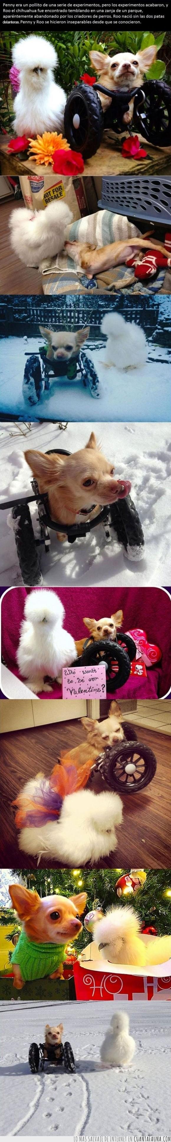 amigos,amistad,Especie,experimento,impresionante,inseparables,perro,pollo