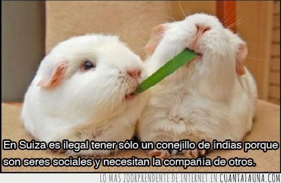 animales,cobaya,conejillo de india,cuy,ilegal,leyes raras,mascotas,social,soledad,suiza