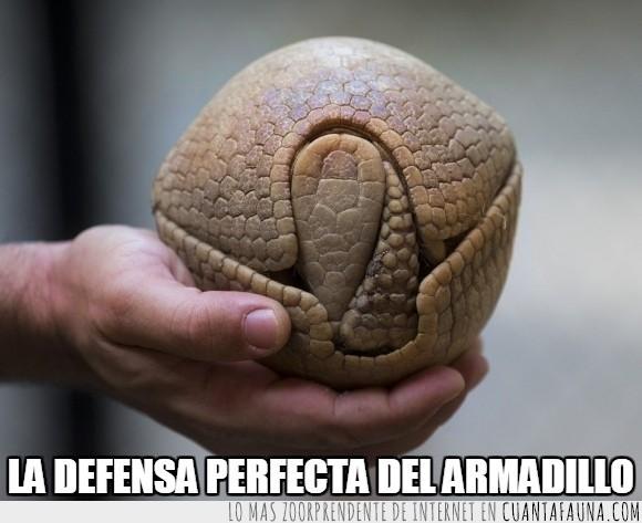 armadillo,bola,defender,defensa,enrollar,pelota,protección,proteger