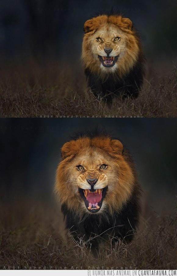 ataque,Atif Saeed,fotografo,gato,hambre,hambriento,león,naturaleza