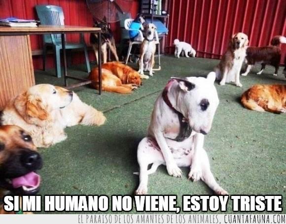 amo,bull terrier,comida,perro,pitbull,sentar,sentido,triste,vida