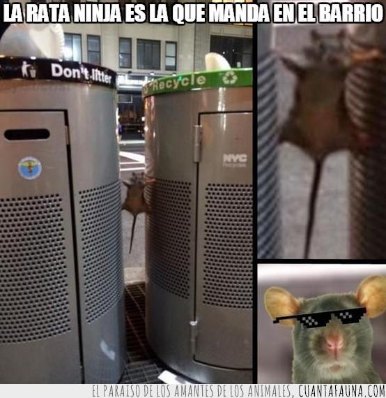 barrio,deal with it,gafas de sol,ninja,papeleras,pose,rata