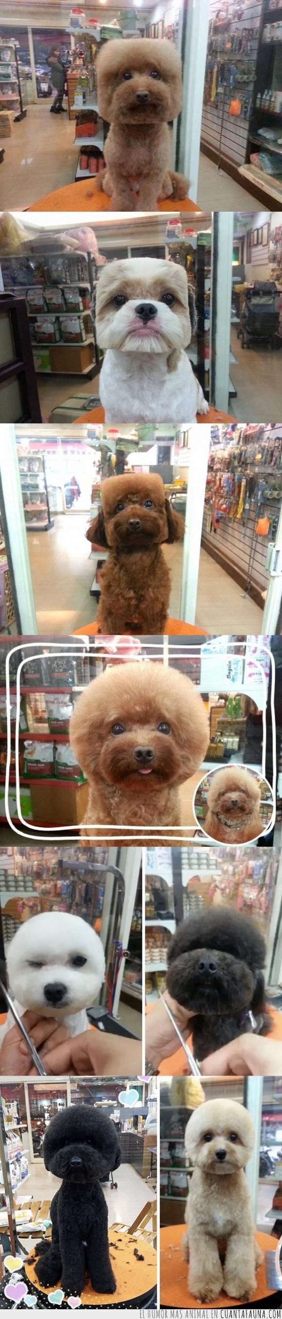 circular,corte,cuadrado,geometría,geometrico,peinado,pelo,peluquería,perro