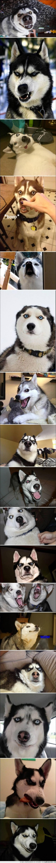 cara,caretos,expresion,expresivo,fotogenia,fotogenico,husky,perro,sorpresa