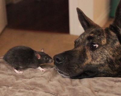 26929 - ¿Pueden ser una rata y un perro amigos?¡Ellos dos lo demuestran!