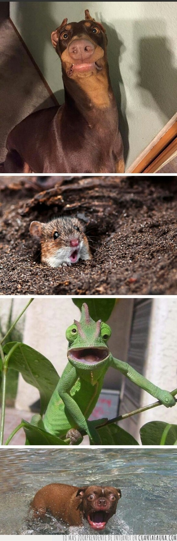 Animales,camaleon,hamster,humor,impresionado,perro,perros,stock