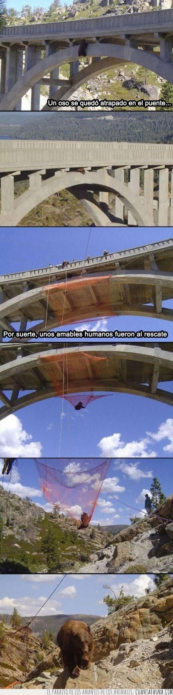 atrapado,ayudar,bajar,naturaleza,oso,puente,red,salvar