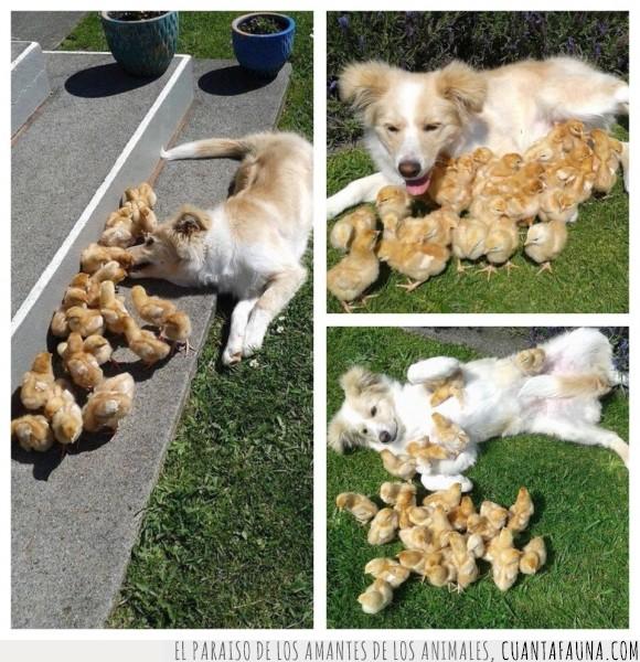 adoptar,cría,hijos,padre,Perro,pollitos
