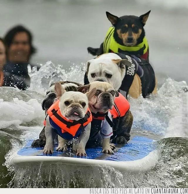 bulldog,mar,ola,perros,playa,surf,surferos,tabla,vigilantes