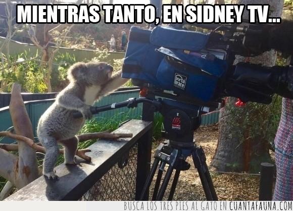 bueno,camara,grabar,koala,lado,perfil,sacar,tecnico,zoo