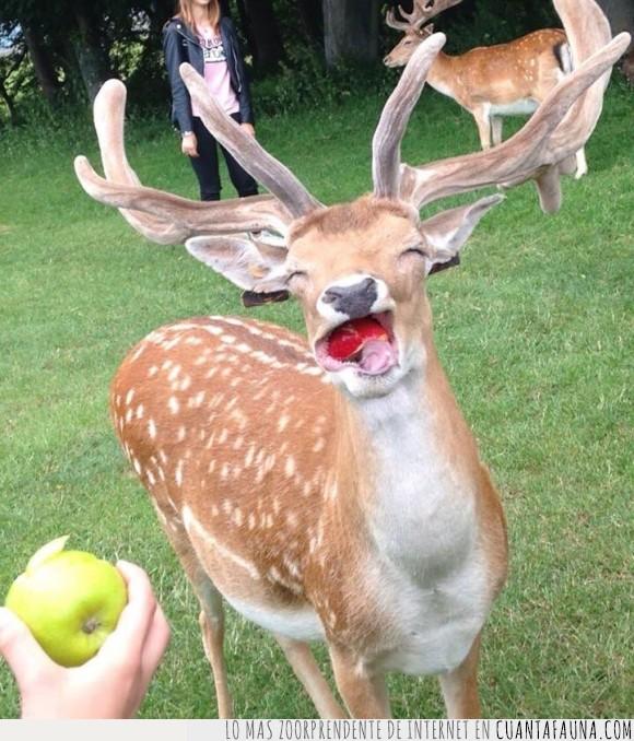 Bambi ha vuelto y viene con hambre,ciervo,comer,delicia,fauna,manzana,temblad manzanas