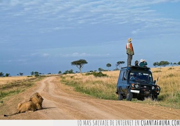cerca,detras,lejos,leon,mirar,safari