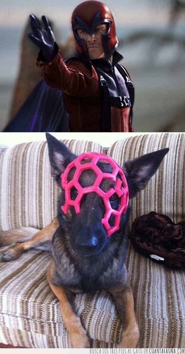 can,casco,juguete,magneto,máscara,pastor belga,pelota,Perro,rosa,villano
