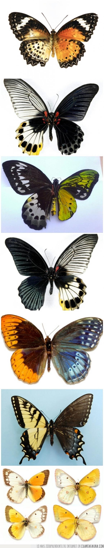 alas,genéticamente inusuales,hembra,macho,Mariposas,simetría,simétrico