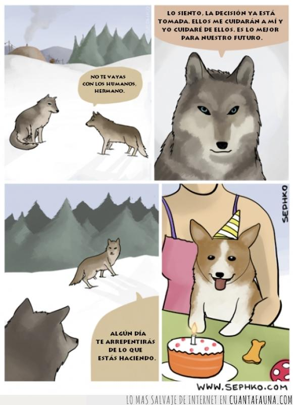 can,corgi,evolucion,lobo,majestuoso corgi de cumpleaños,Perro