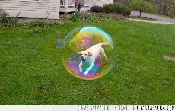 burbuja,colar,dentro,jardin,labrador,perro