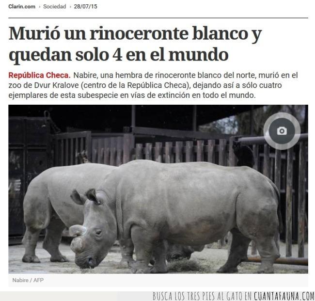 al borde de la extinción,el ser humano deja mucho que desear,rinoceronte blanco