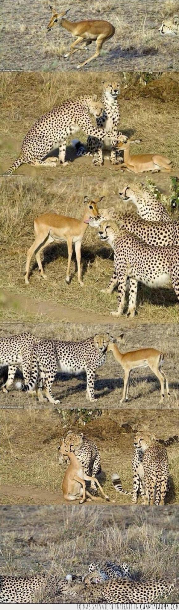comida,gacela,guepardos,sabana