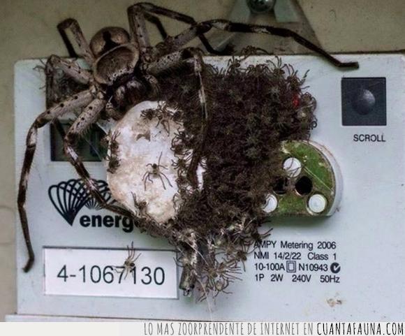 Animales,Aracnofobia,Arañas,Australia,Central Eléctrica,electricidad,Fauna,Huevos,Miedo,Panel eléctrico,Quemar,Quemo mi casa,Red eléctrica,Terror