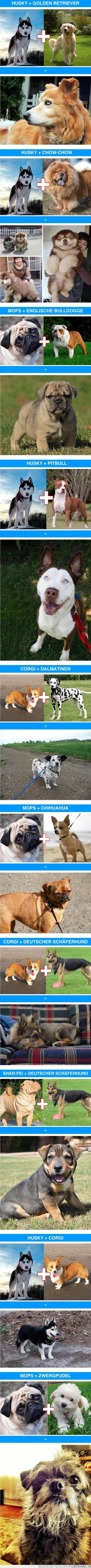 chihuahua,corgi,dalmata,golden retriever,husky,mixta,pastor aleman,perro,pitbull,pug,raza