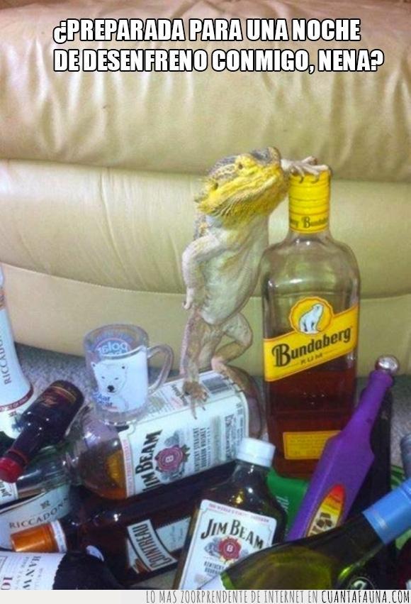 alcohol,animal,beber,bebida,Bundaberg,encima,fuerte,Jim Beam,lagarto,mascota,reptil,ron,tener,tienes,whisky