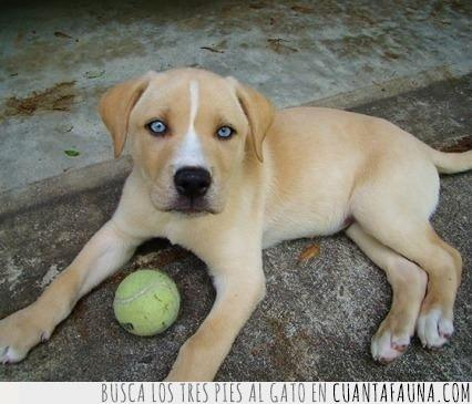 bonitos ojos,husky,labrador,mezcla,perro